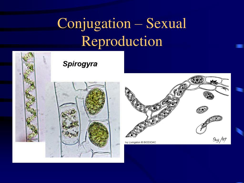 Conjugation – Sexual Reproduction