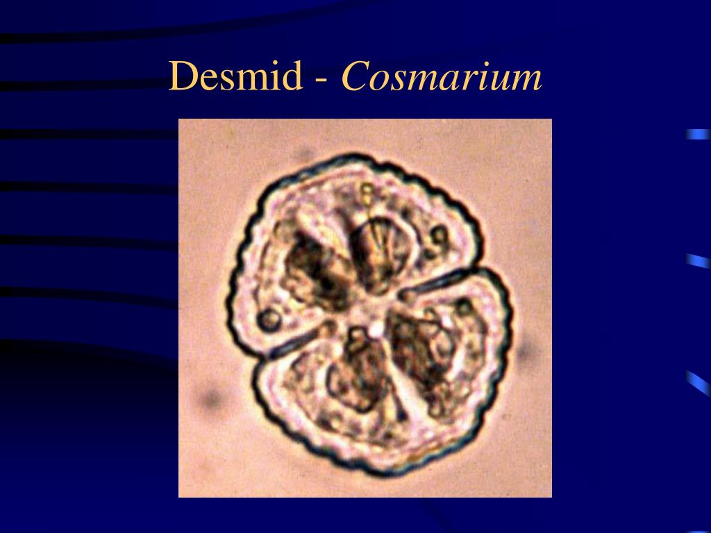 Desmid -
