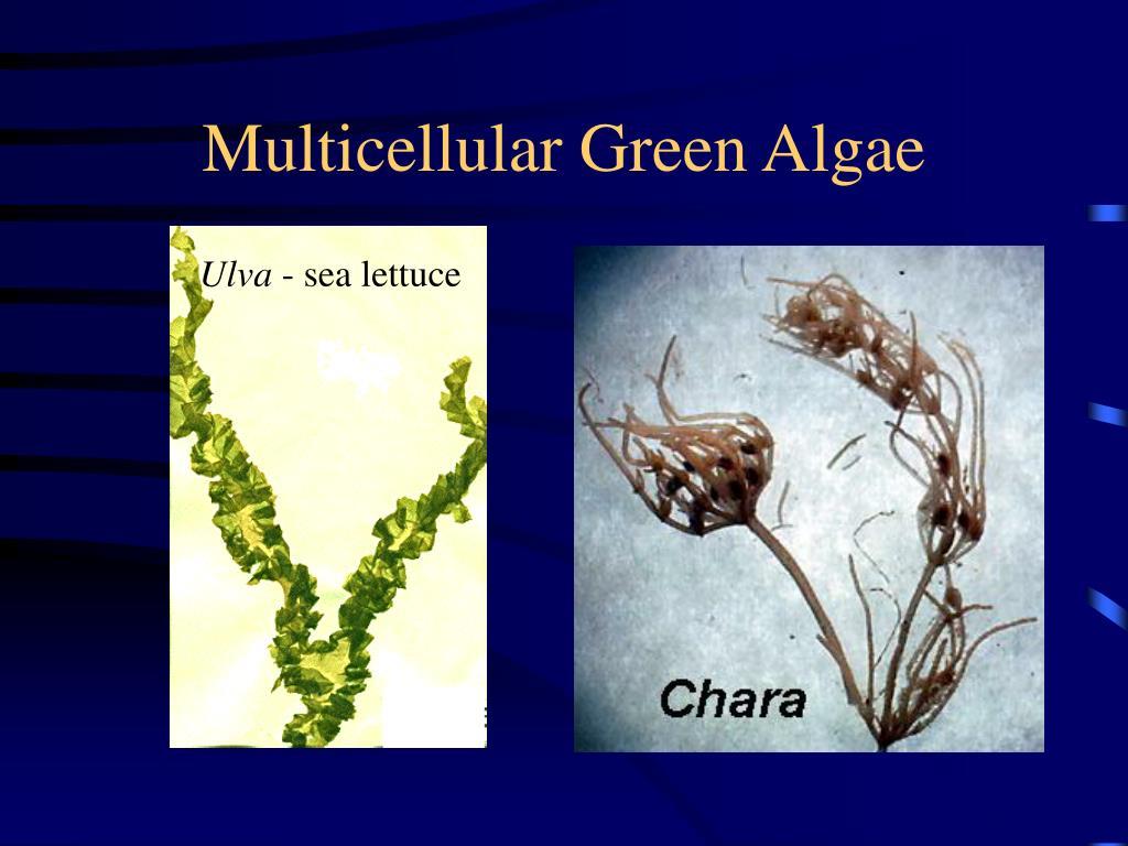 Multicellular Green Algae