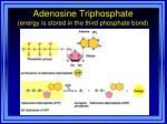 adenosine triphosphate energy is stored in the third phosphate bond