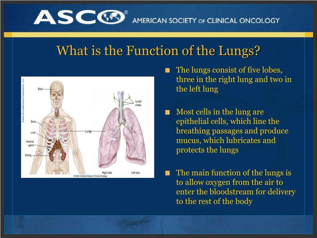 What is the Function of the Lungs?