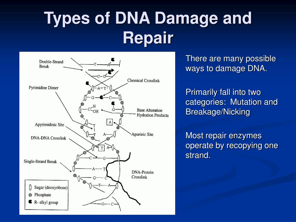 Types of DNA Damage and Repair