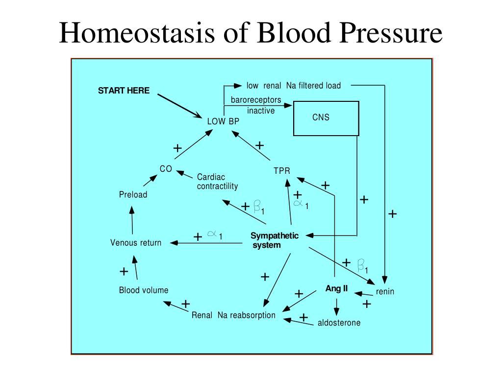 Homeostasis of Blood Pressure