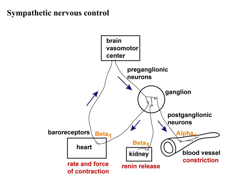 Sympathetic nervous control