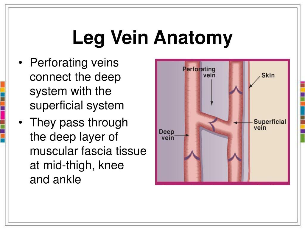 Anatomy veins leg 5463948 - follow4more.info