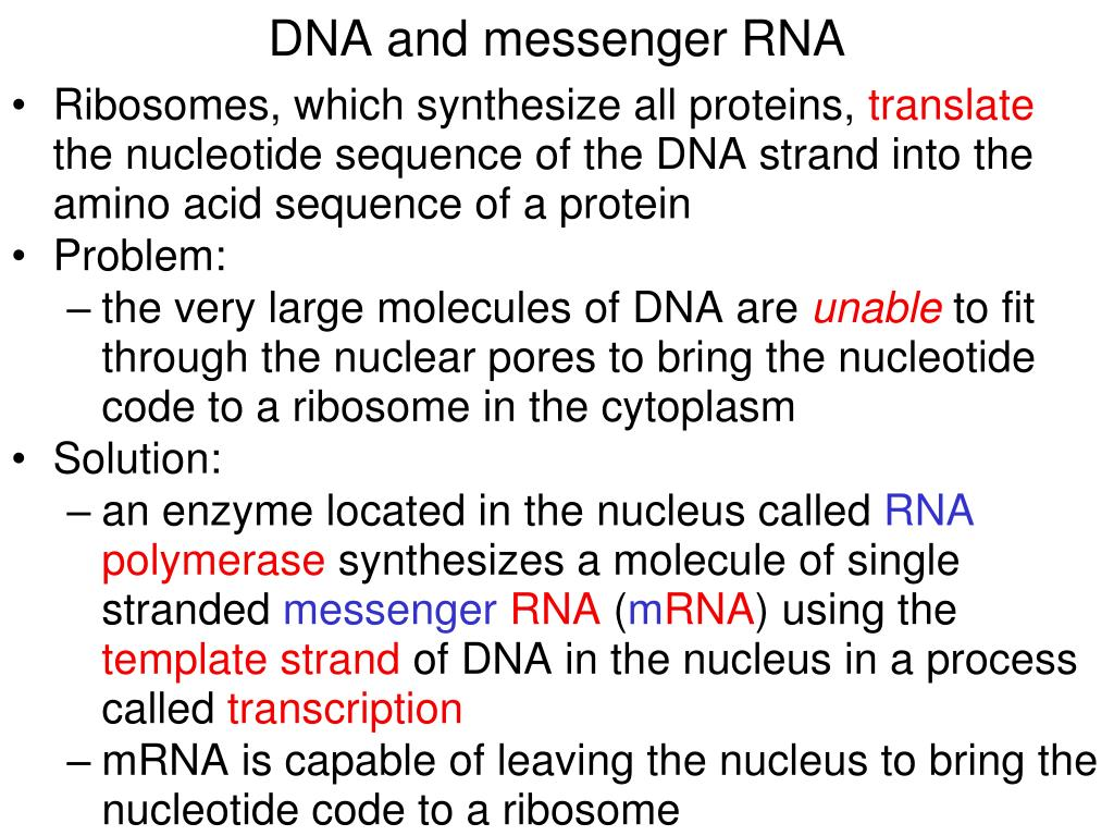 DNA and messenger RNA