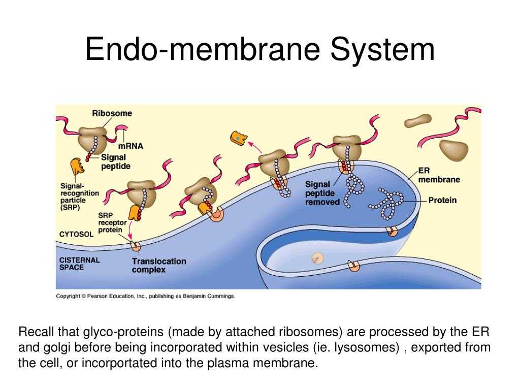 Endo-membrane System