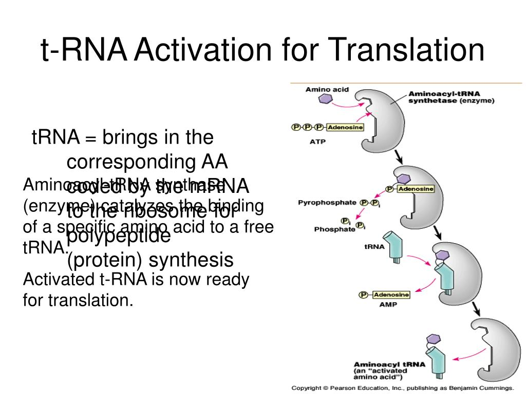 t-RNA Activation for Translation