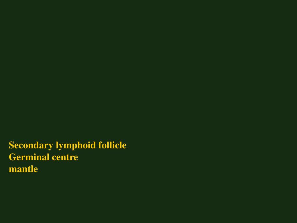 Secondary lymphoid follicle