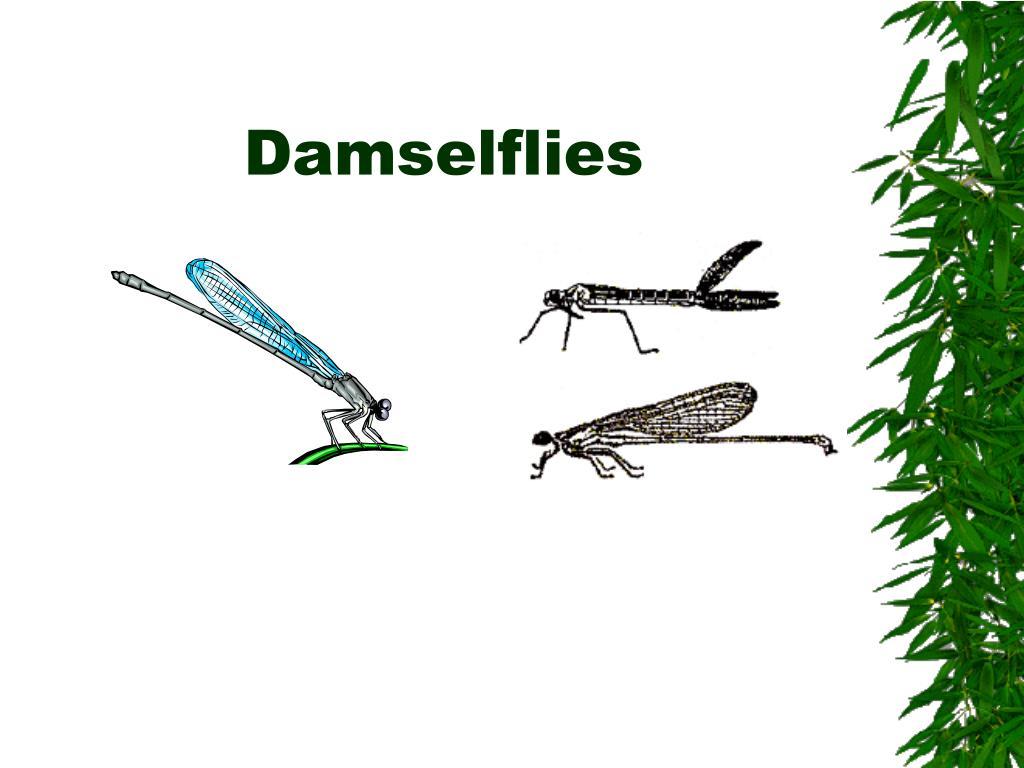 Damselflies