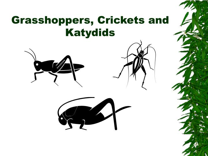 Grasshoppers crickets and katydids l.jpg
