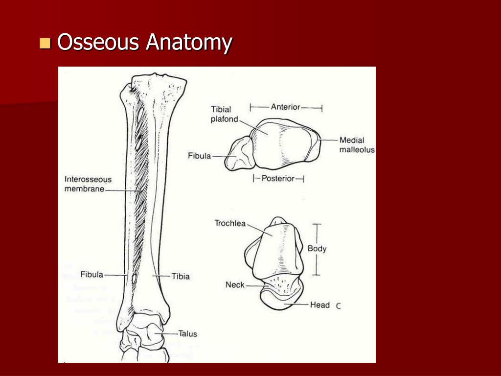Osseous Anatomy