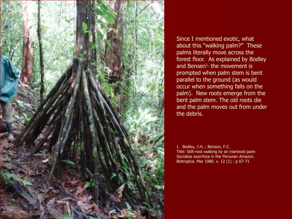 "Since I mentioned exotic, what about this ""walking palm?""  These palms literally move across the forest floor.  As explained by Bodley and Bensen"