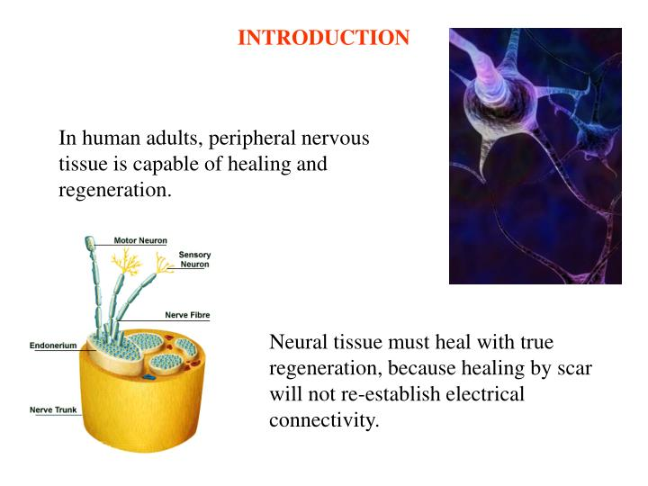 In human adults, peripheral nervous tissue is capable of healing and regeneration.