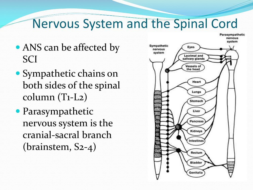 Nervous System and the Spinal Cord