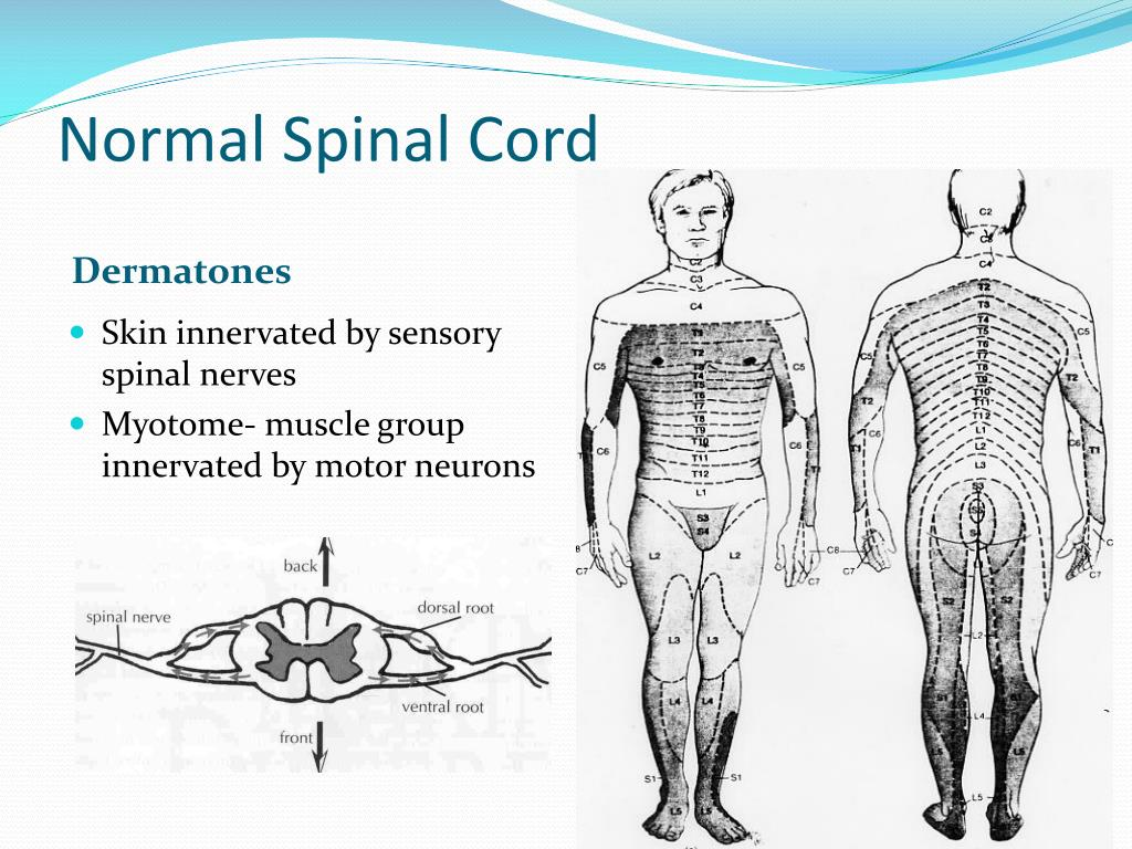 Normal Spinal Cord