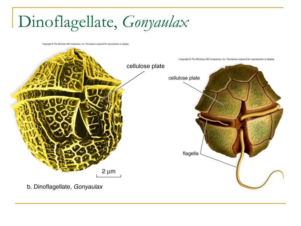 Dinoflagellate,