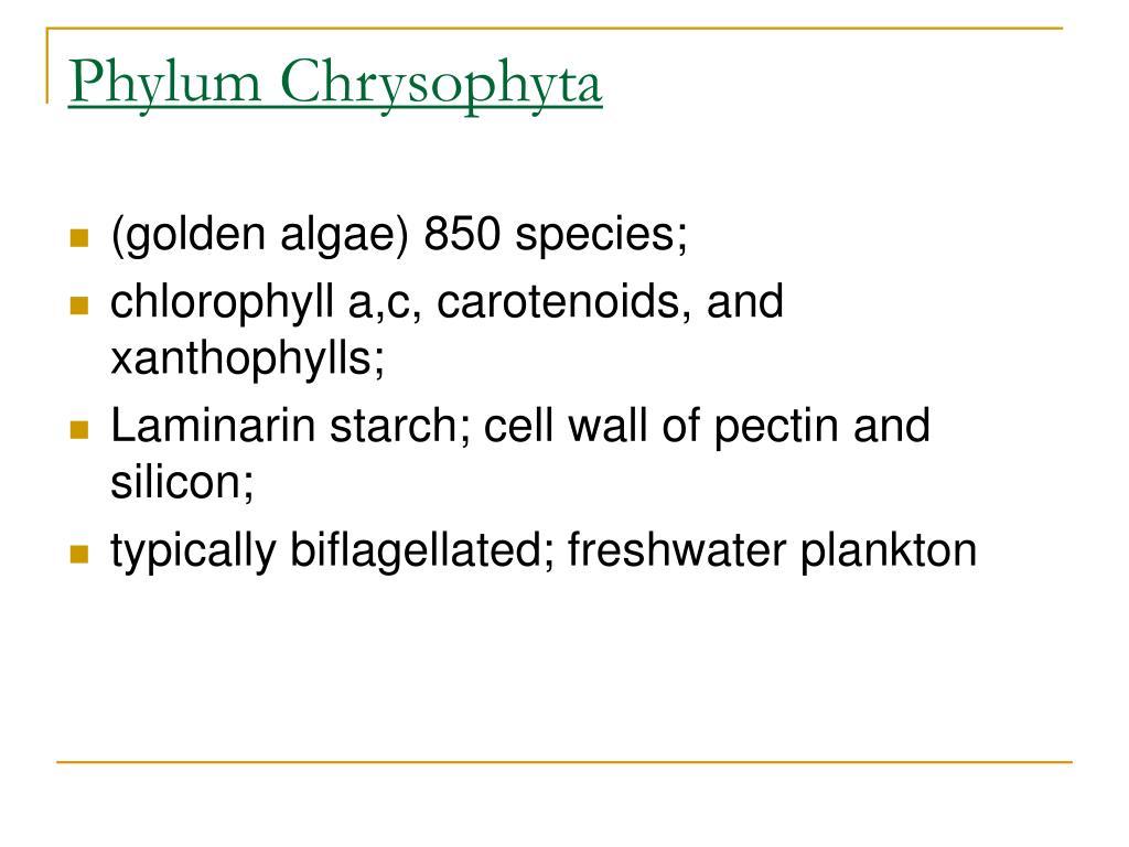 Phylum Chrysophyta