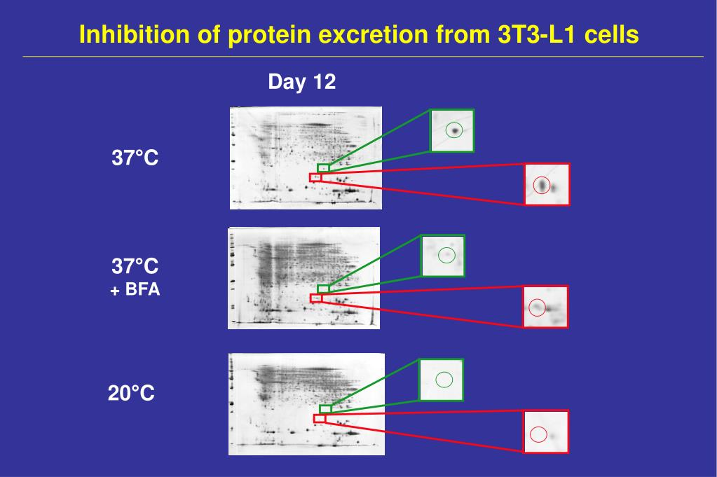 Inhibition of protein excretion from 3T3-L1 cells