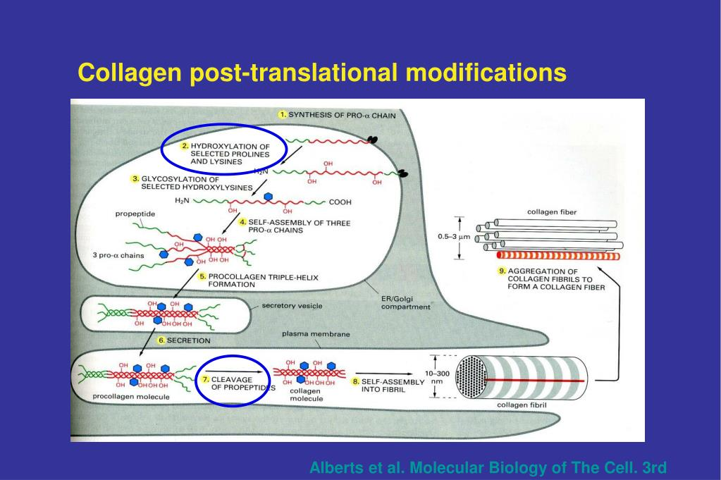 Collagen post-translational modifications