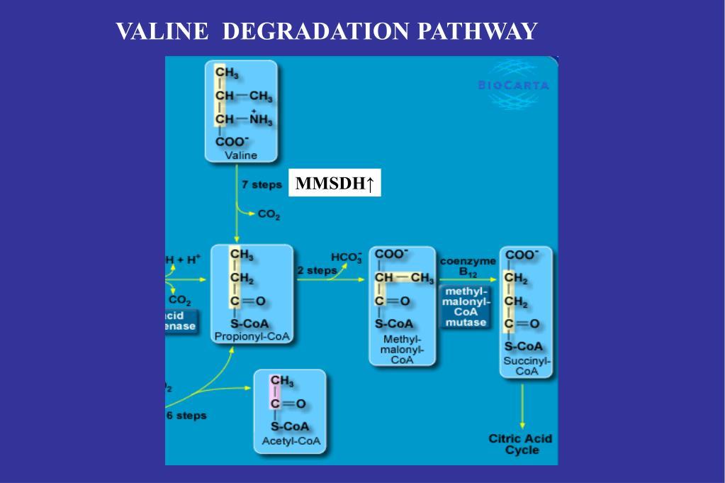 VALINE  DEGRADATION PATHWAY