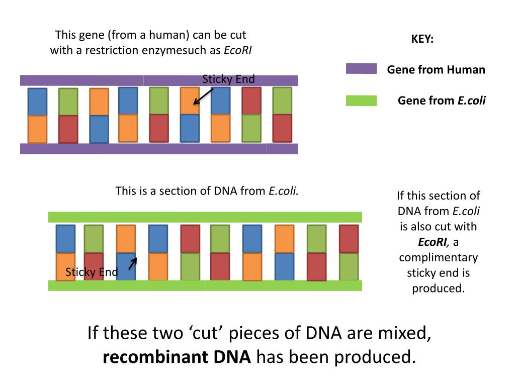 This gene (from a human) can be cut with a restriction