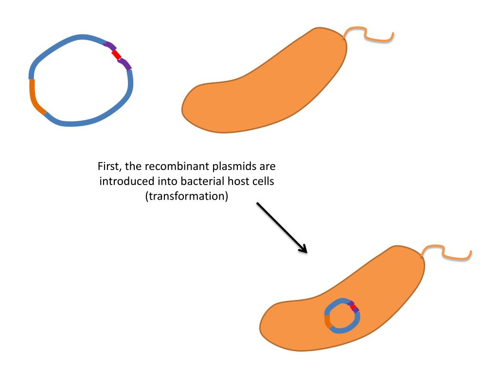 First, the recombinant plasmids are introduced into bacterial host cells (transformation)
