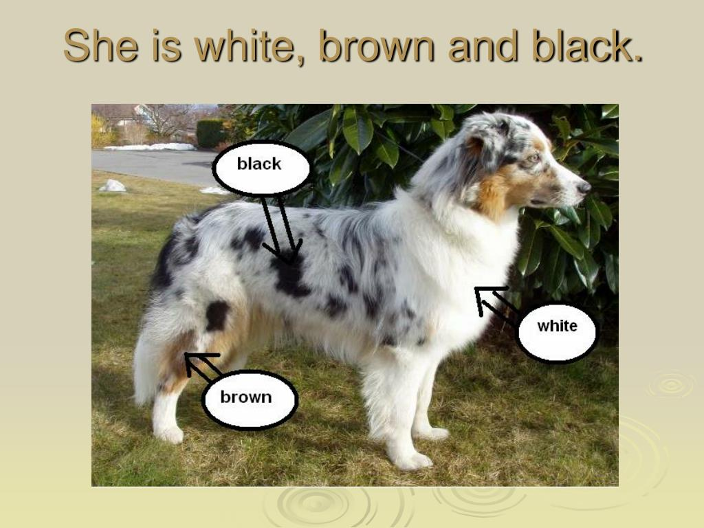 She is white, brown and black.