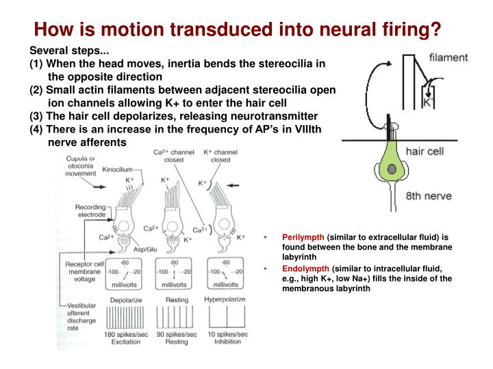 How is motion transduced into neural firing?