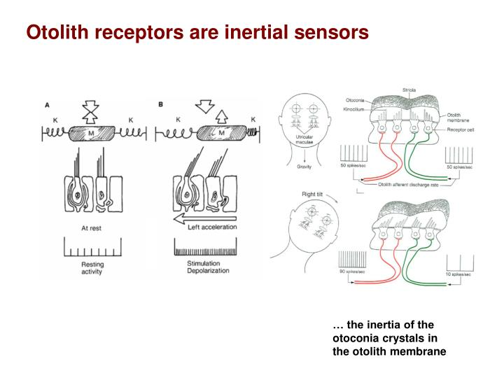 Otolith receptors are inertial sensors