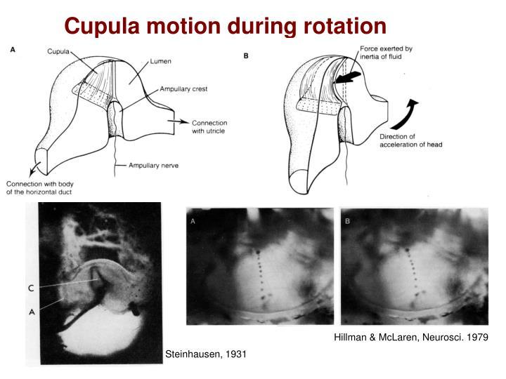 Cupula motion during rotation