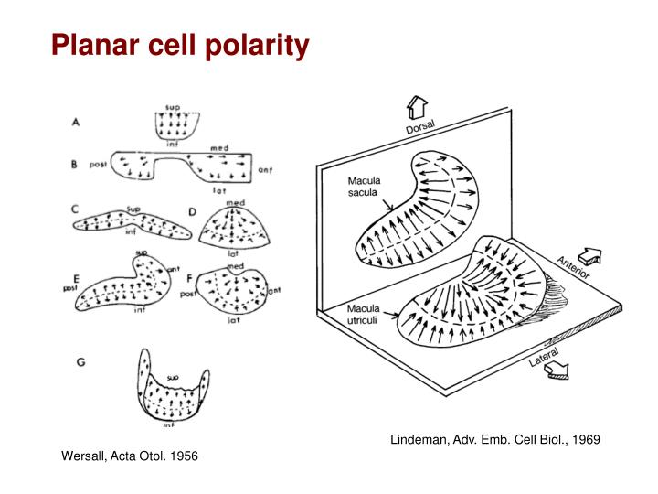 Planar cell polarity