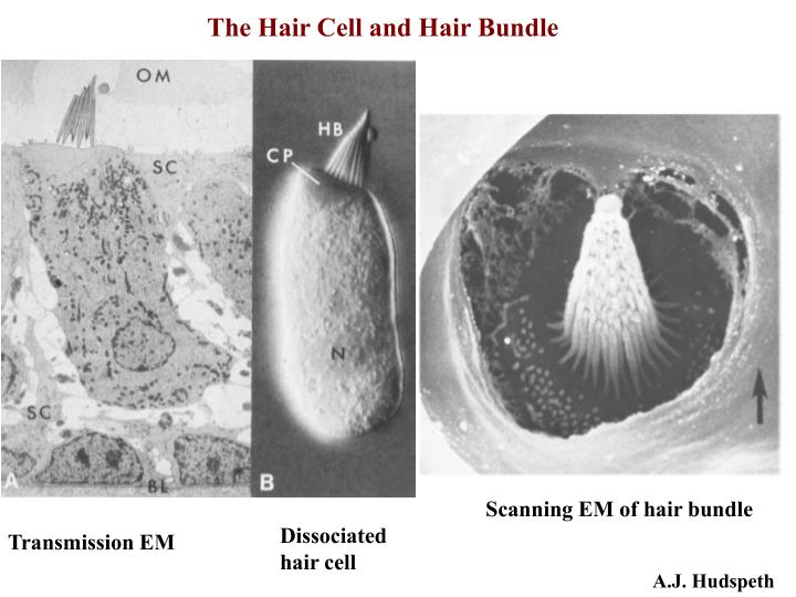 The Hair Cell and Hair Bundle