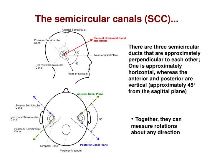 There are three semicircular ducts that are approximately perpendicular to each other; One is approximately horizontal, whereas the anterior and posterior are vertical (approximately 45° from the sagittal plane)