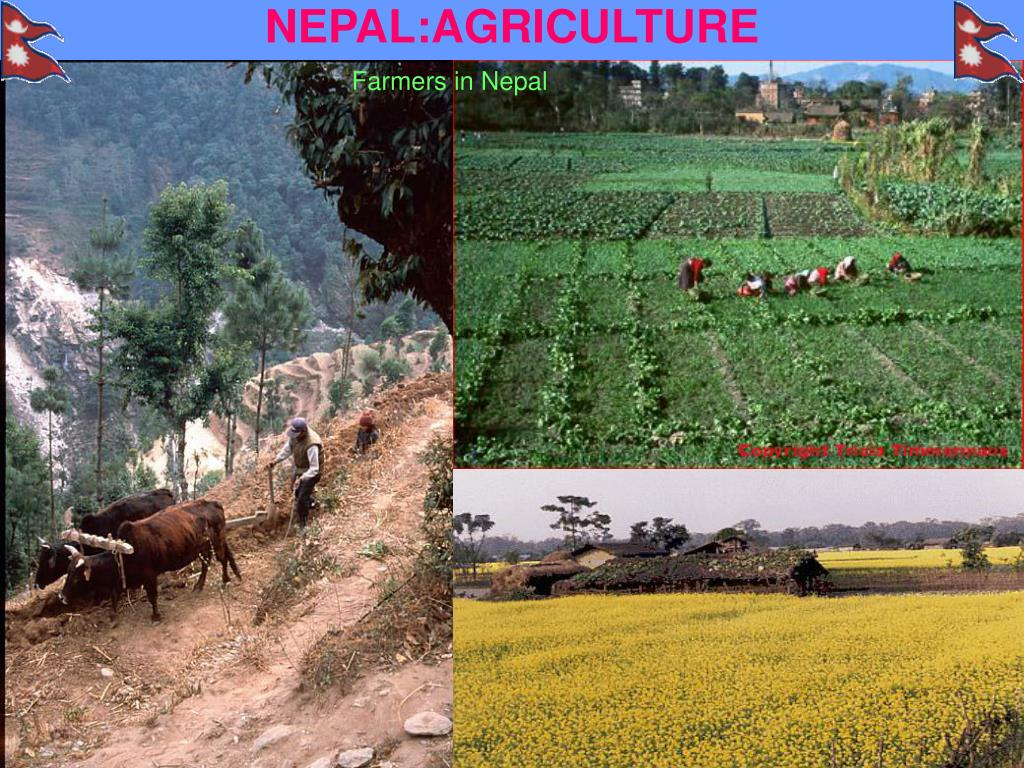 NEPAL:AGRICULTURE