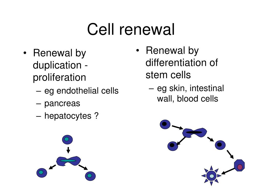 Renewal by duplication - proliferation