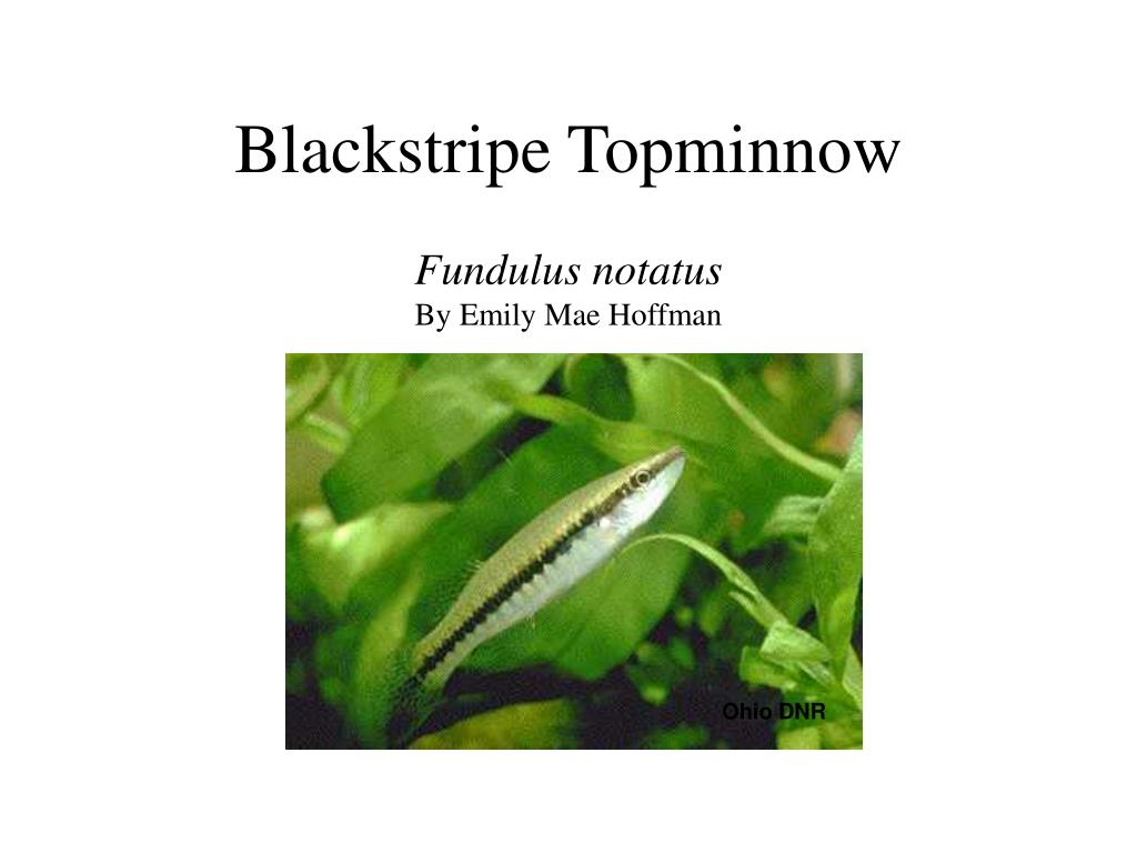 Blackstripe Topminnow