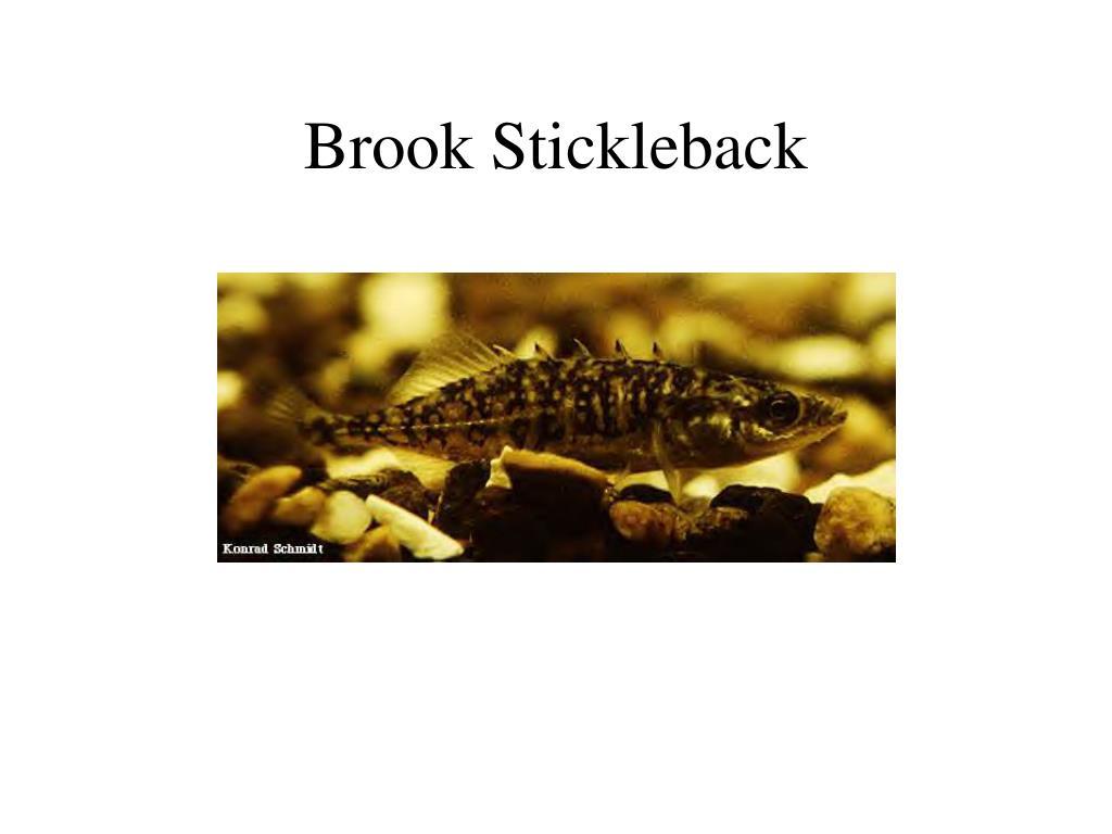 Brook Stickleback