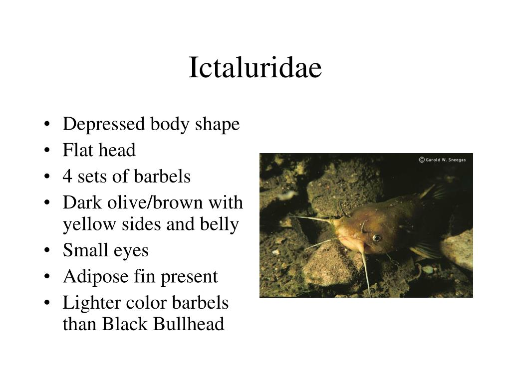 Ictaluridae