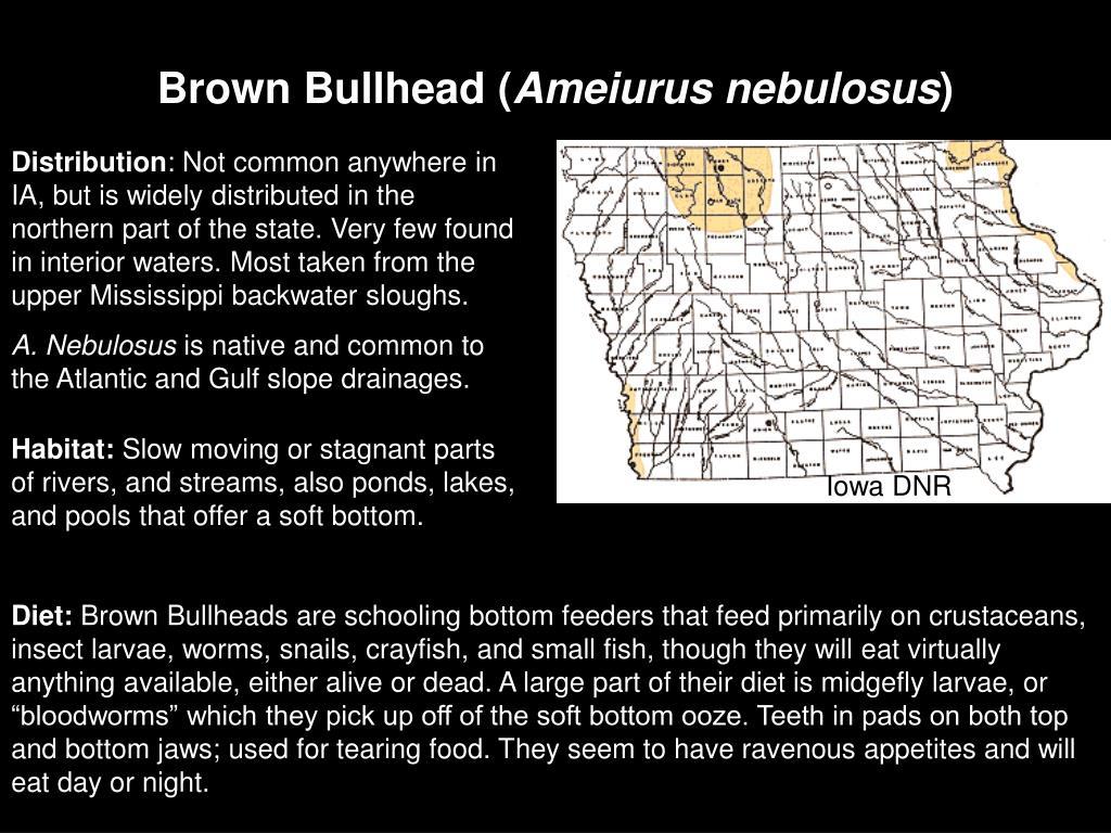 Brown Bullhead (