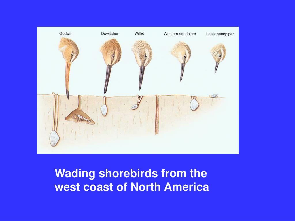 Wading shorebirds from the west coast of North America