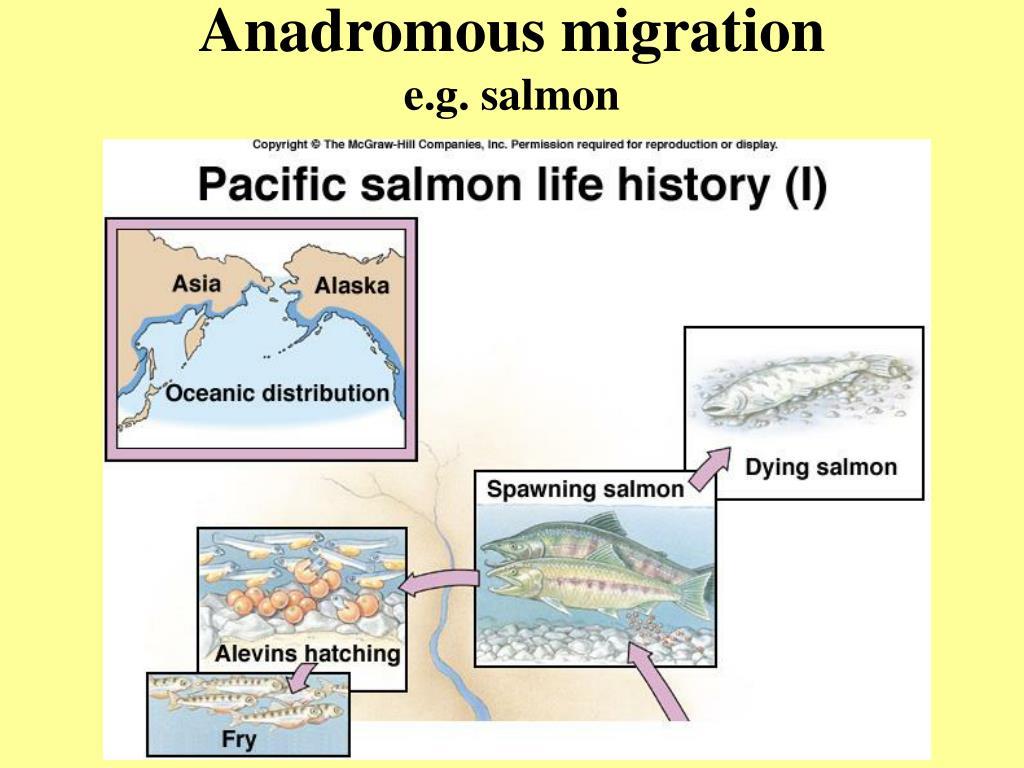 Anadromous migration