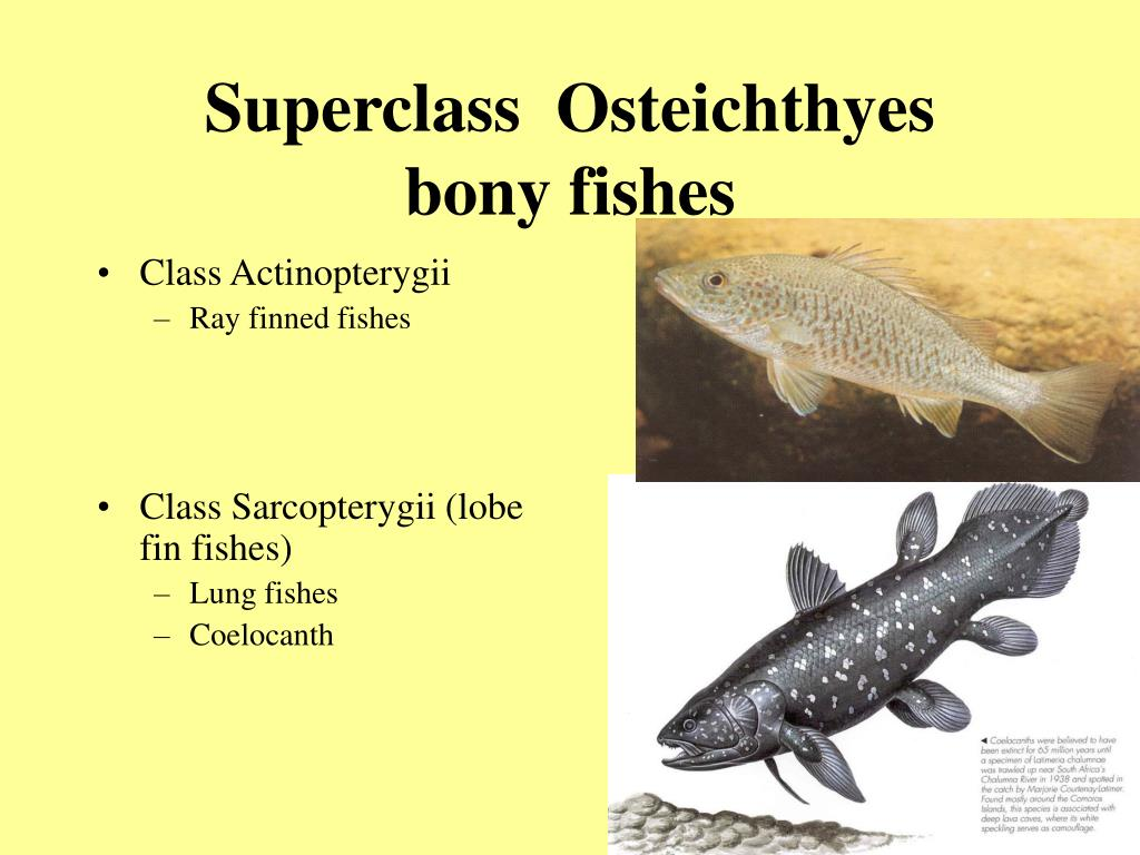 Superclass  Osteichthyes