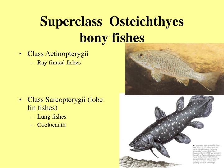 Superclass osteichthyes bony fishes