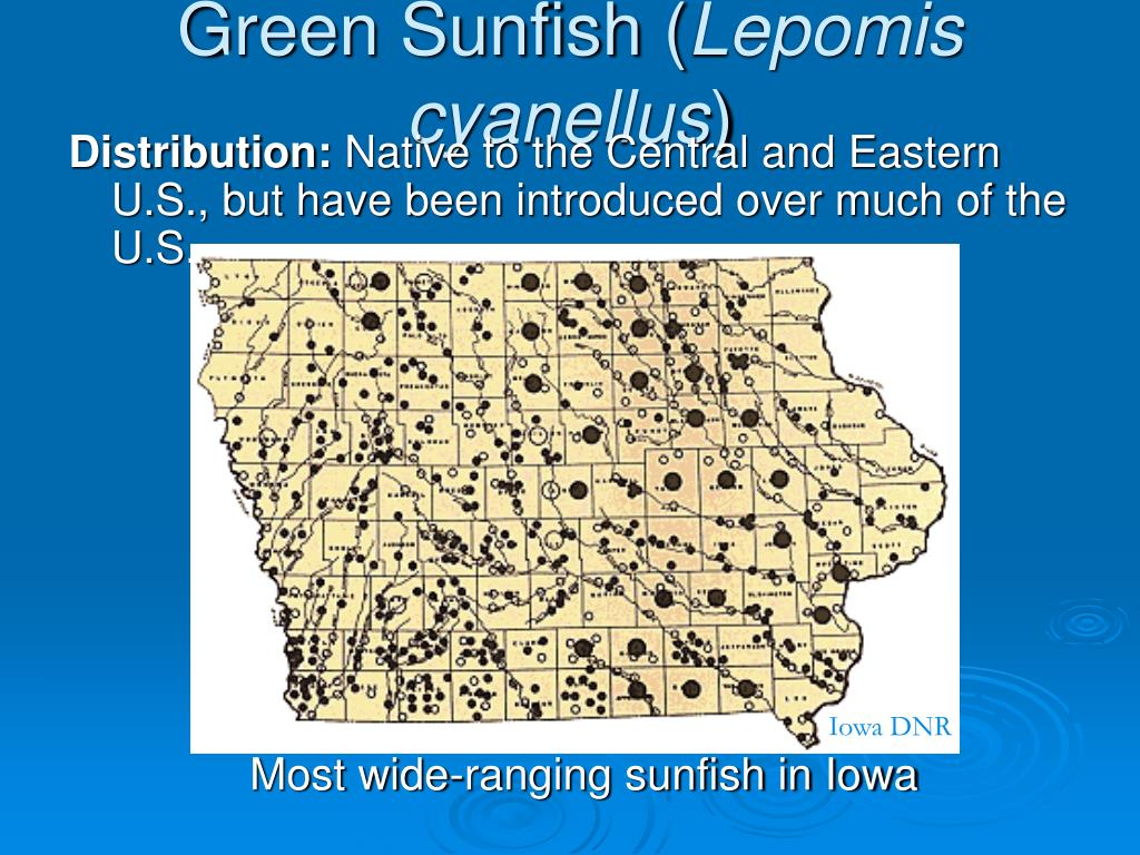 Green Sunfish (
