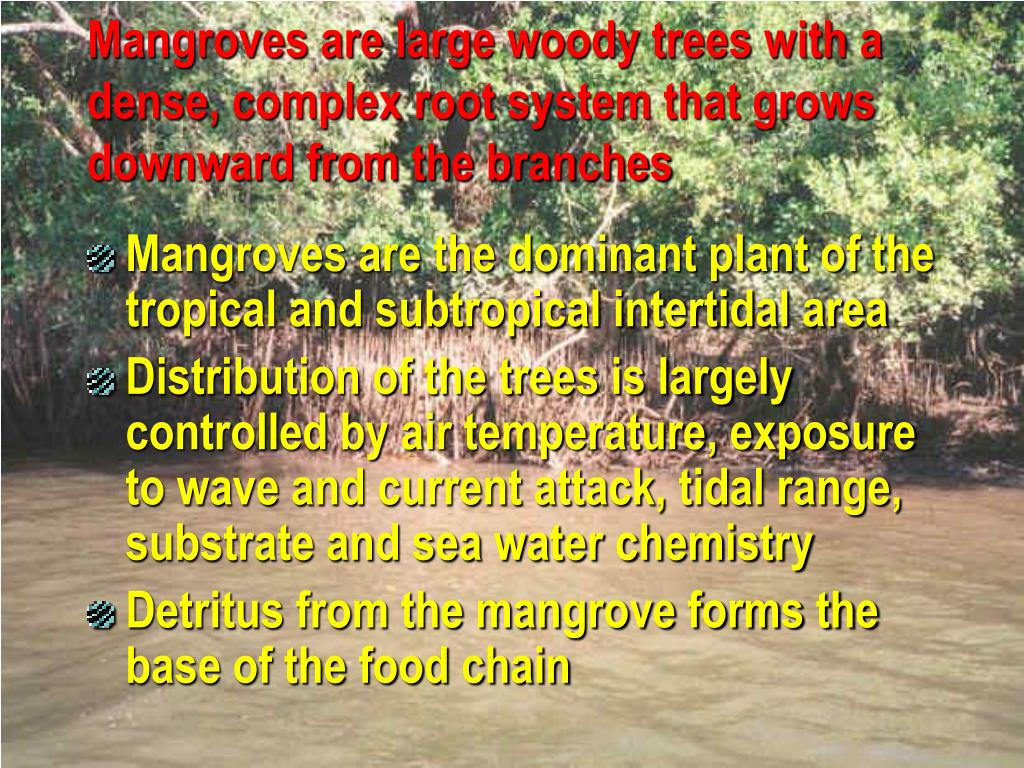 Mangroves are large woody trees with a dense, complex root system that grows downward from the branches