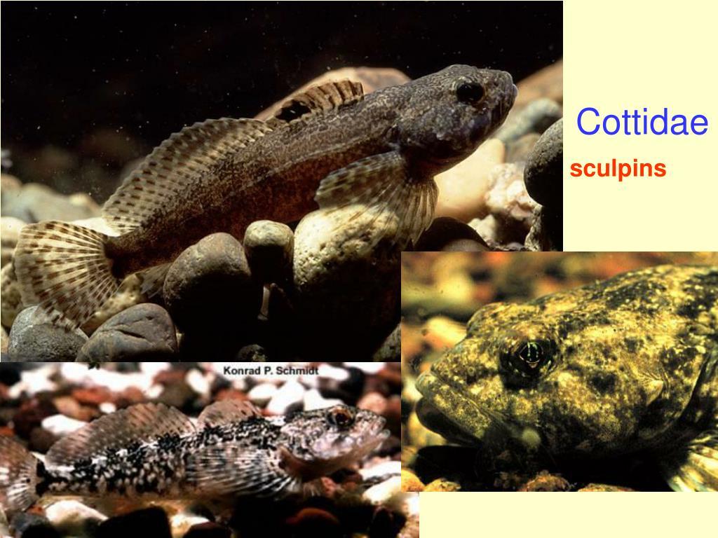 Cottidae