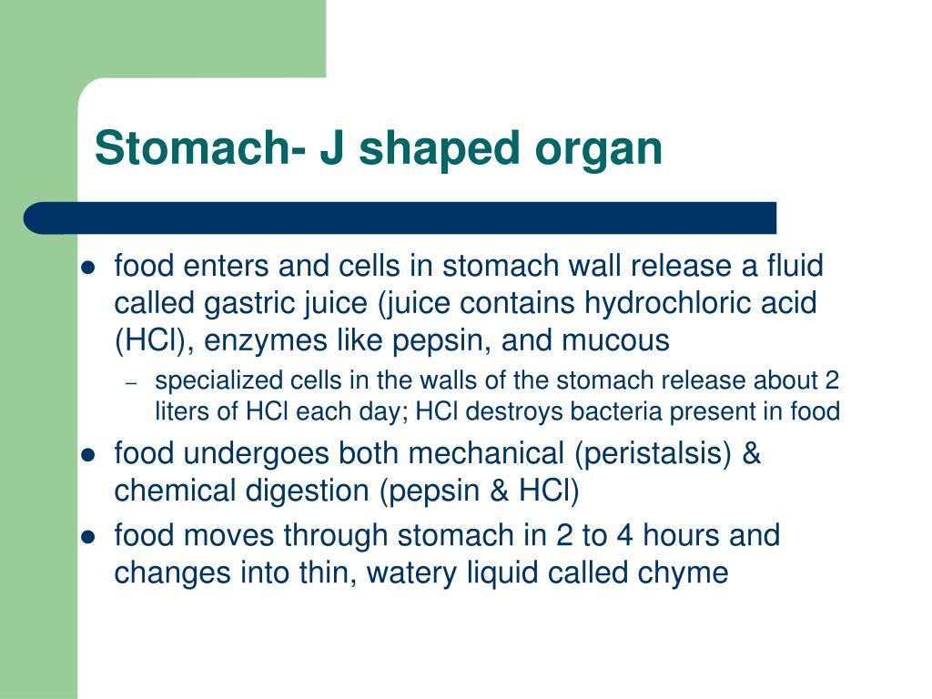 Stomach- J shaped organ