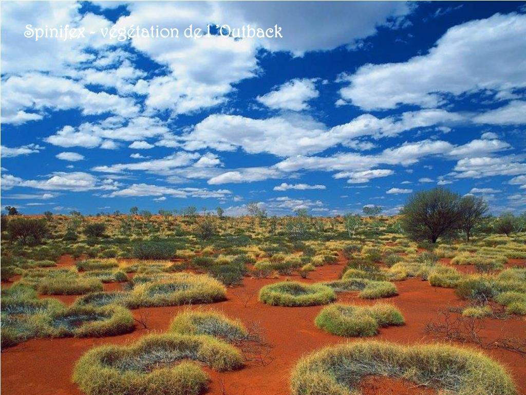 Spinifex - végétation de l'Outback