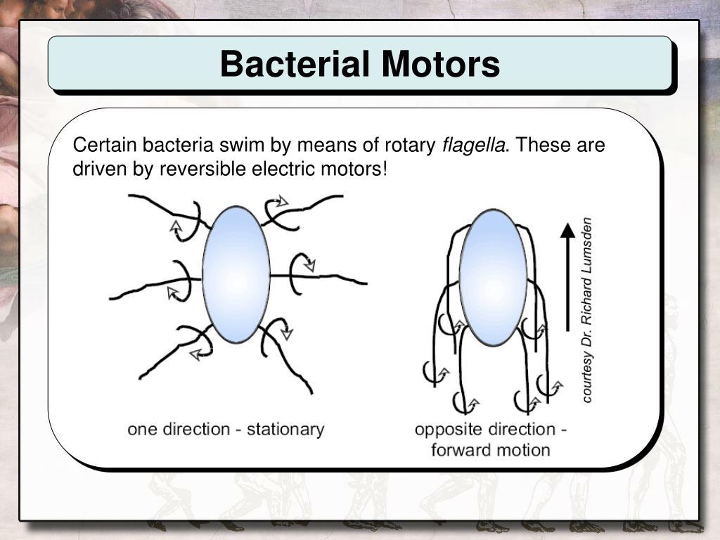 Bacterial Motors